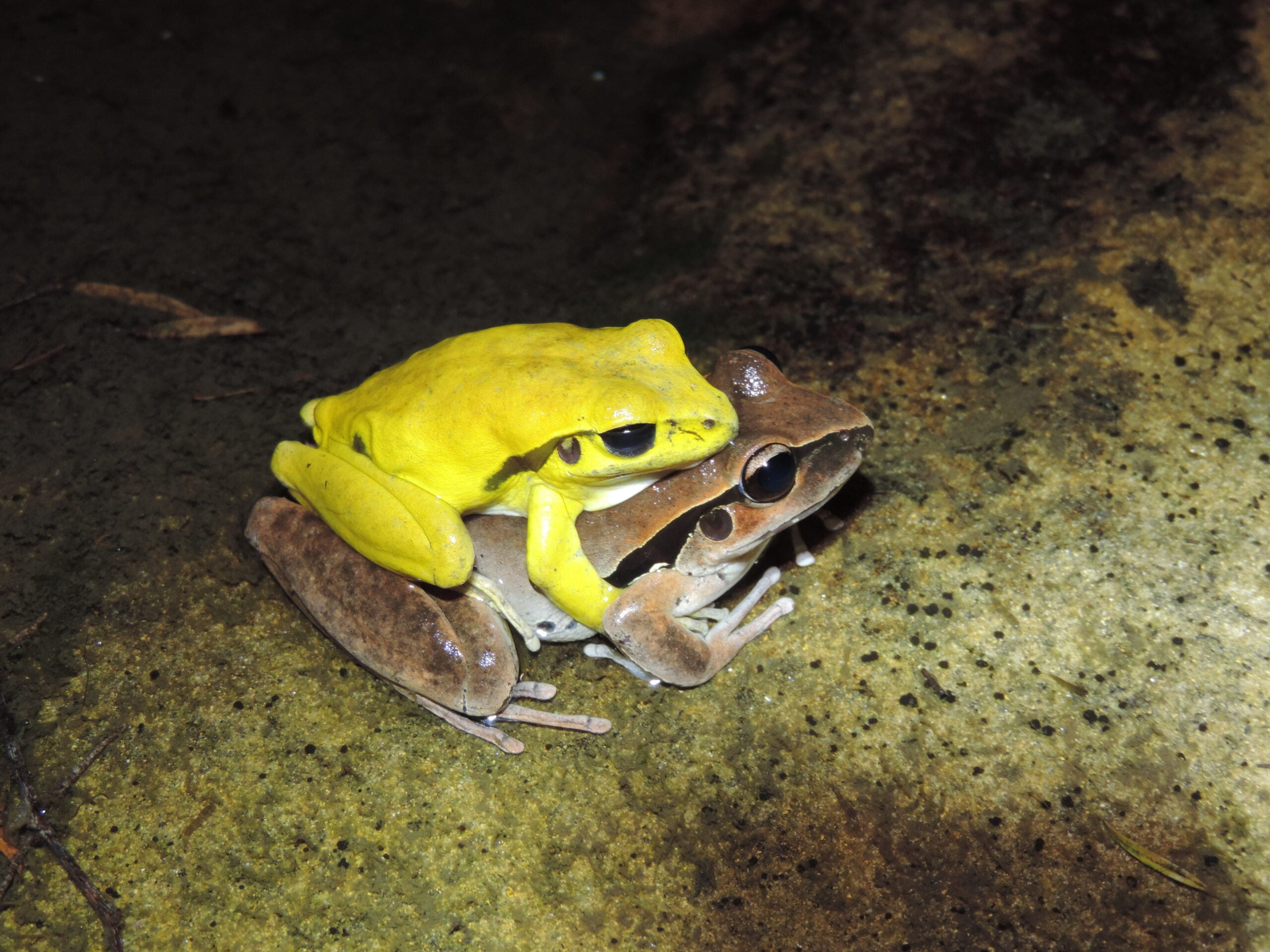 A frog couple has sex. The male is yellow.