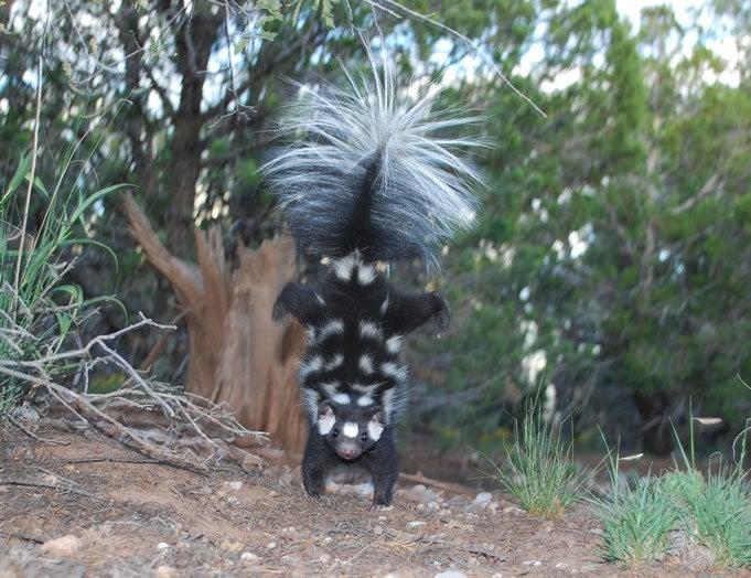 handstanding skunk