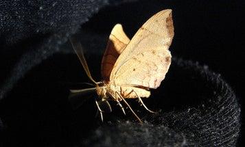 Moth Migrations