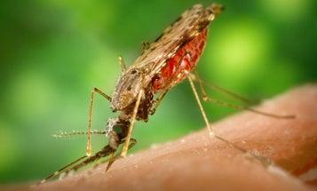 To Kill Malaria Parasite, Feed Bacteria To Mosquitoes
