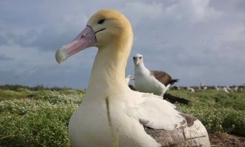This albatross couple adopted a baby of another species