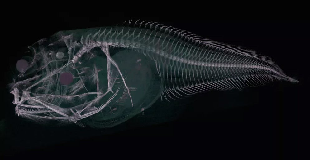 How we found a beautiful new species of snailfish deep beneath the sea