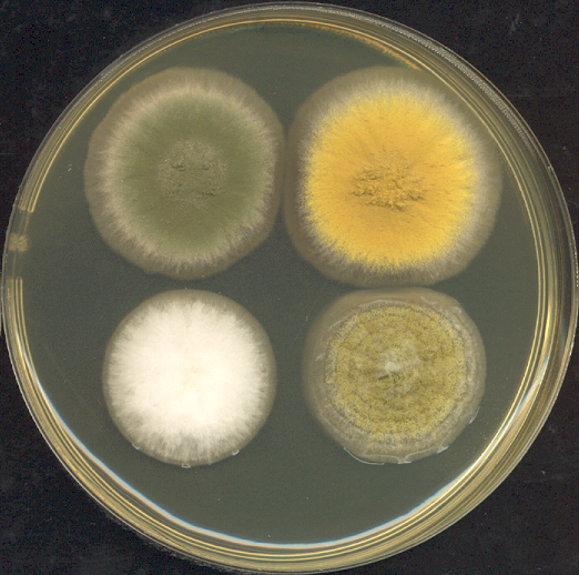 Aspergillus nidulans fungus grows on a petri dish