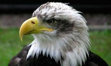 Bald Eagle Hits Airplane, Causing Fatal Crash