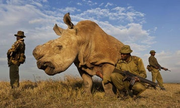South African Court Legalizes Rhino Horn Trade