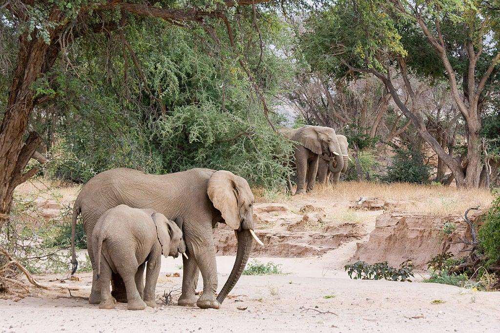 Namibia Grants Permits To Hunt Rare Desert Elephants
