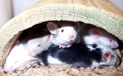 Genetic Tweak Creates a Mouse With Super-Endurance