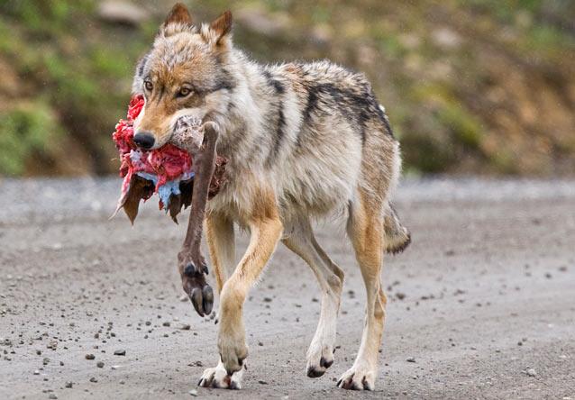 A wolf walks down Denali Road with a caribou leg.