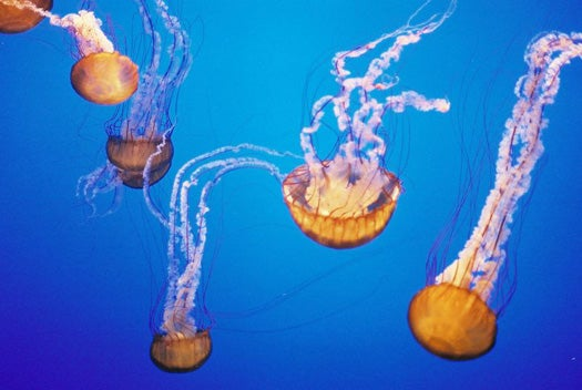 Swedish Researchers Harness Green Goo to Create Solar Cells from Jellyfish