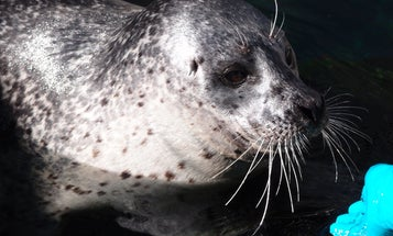 Why Do Seals Have Wavy Whiskers?