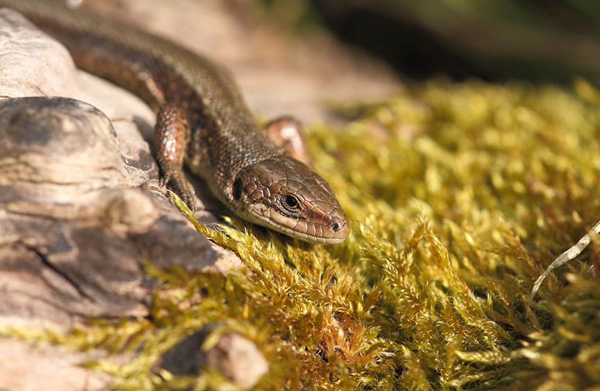Lizards might lose their gut bacteria to climate change—and that's not great