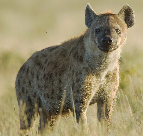 Captive Hyena Figures Out A Meat Puzzle Faster Than Its Wild Cousin