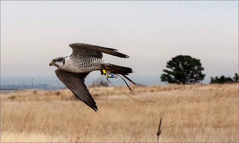 Falcon With GPS Could Save Birds From Wind Turbines