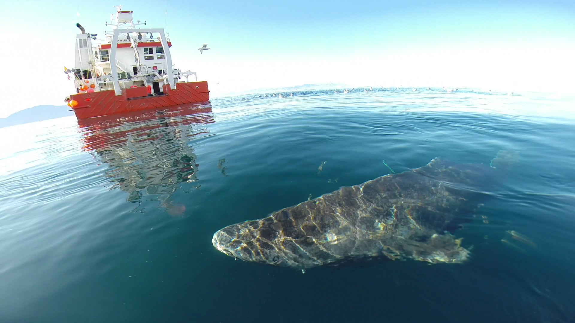 Greenland Sharks Can Live To 400 Years Old