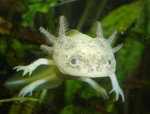 Decline of the Axolotl
