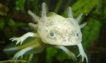 Decline of the Axolotl