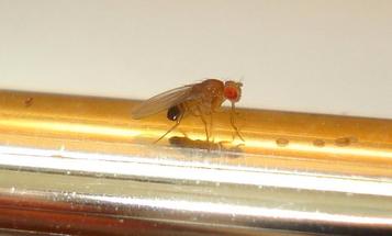 Pass The Prozac: Fruit Flies Get Depressed, Too