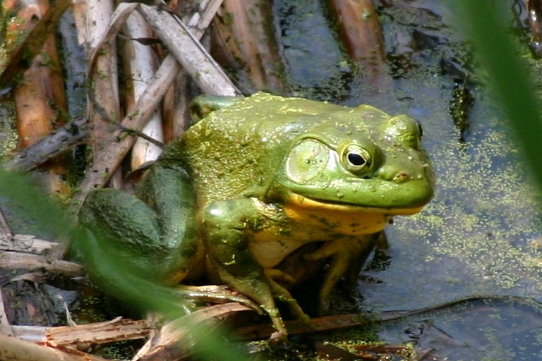 Why Won't Bullfrogs Jump For Science?