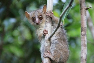 Three New Tiny Primates Discovered In Madagascar
