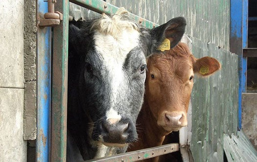 Protein in Cow Brains Holds Promise for Alternative Energy