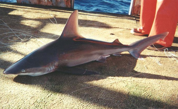 Metals That Generate Electric Fields May Keep Sharks Away
