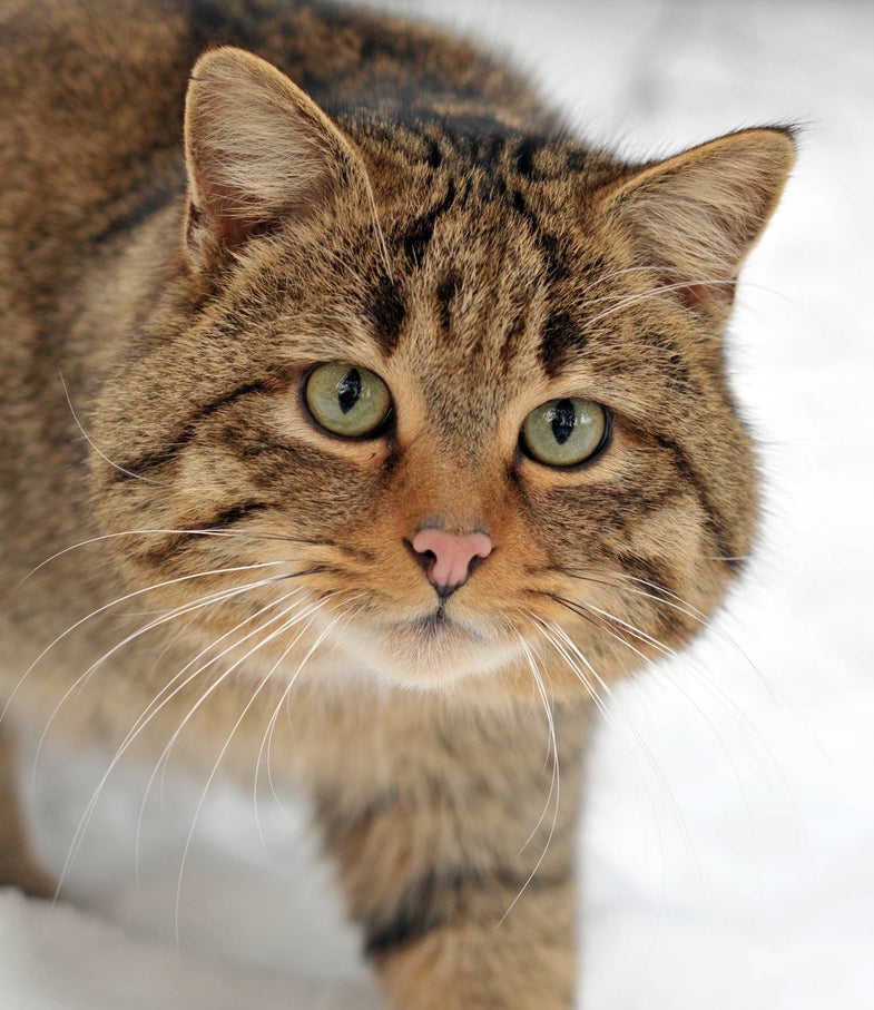 Scientists Who Cloned Dolly the Sheep Plan to Clone Endangered Scottish Wildcats Using Eggs From Spayed Pets