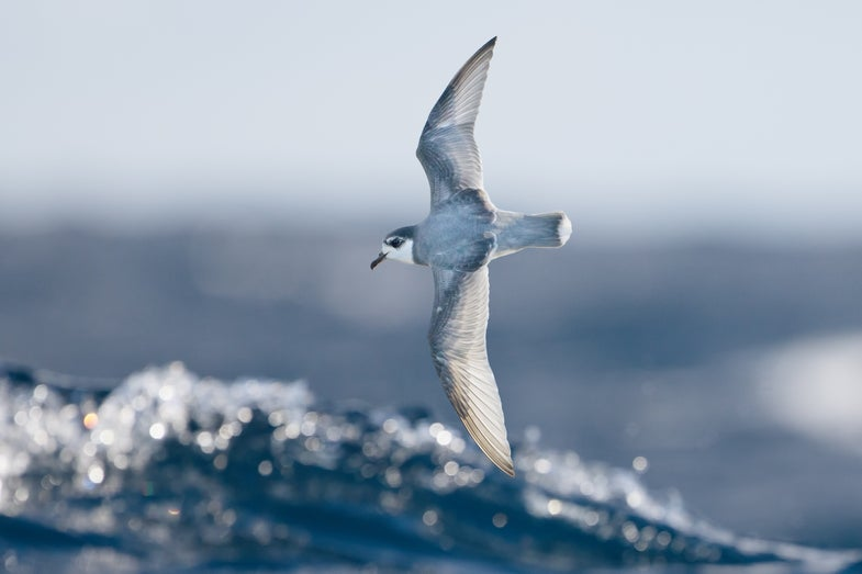 Bad news: Seabirds eat plastic because they think it smells delicious