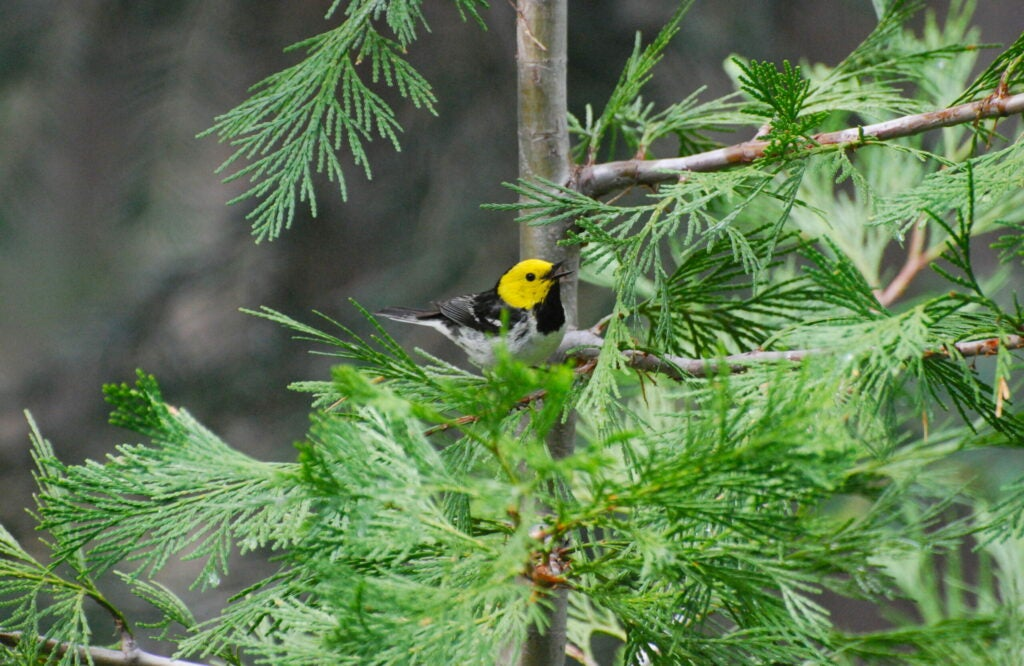 Hermit Warblers are among the species included in a new study of how migratory birds are singing at different times of the year as a result of climate change.