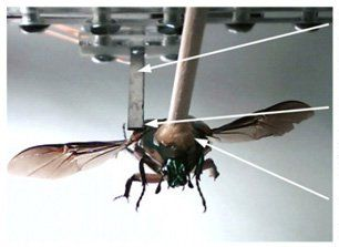 Scientists Fit Cyborg Beetles With Generators that Turn Their Own Wings into Power Plants