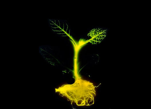 Replace Your Lights With These Genetically Engineered Glow-Plants