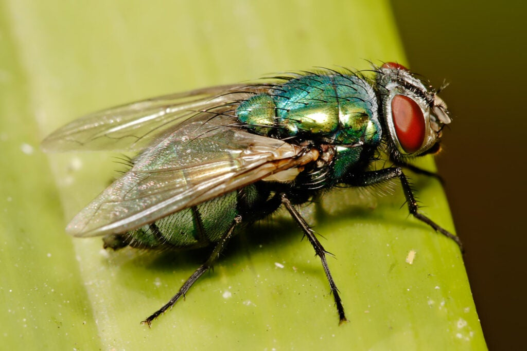 Lucilia cuprina, more commonly known as an Australian sheep blow fly.