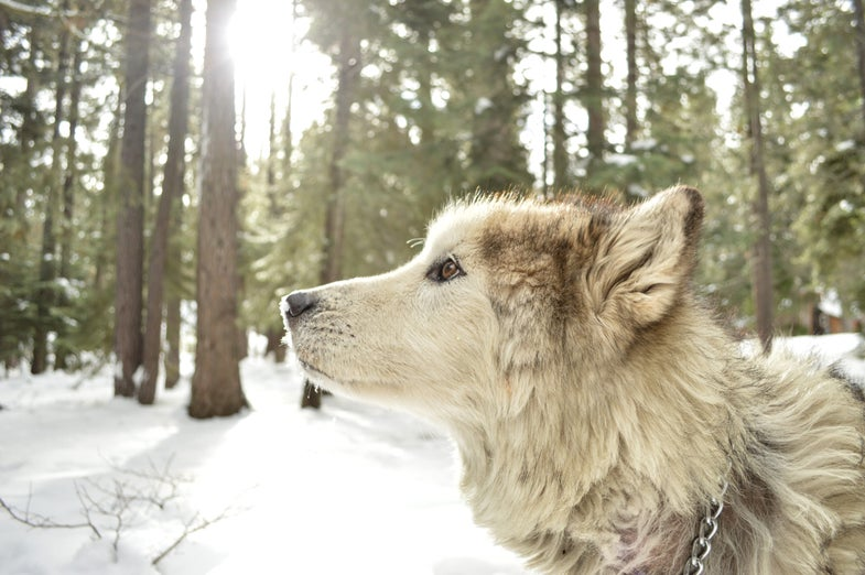 Dogs and wolves both get sad when you don't treat them fairly