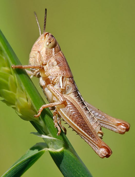 Stressed-Out Grasshoppers Can Damage the Entire Ecosystem