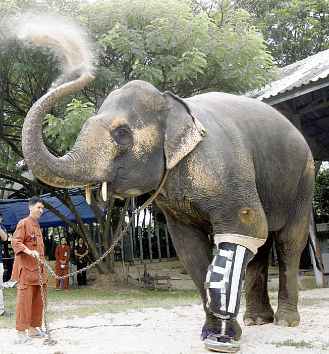 Three-Ton Elephant Amputee Receives Super-Industral-Strength Prosthetic Limb