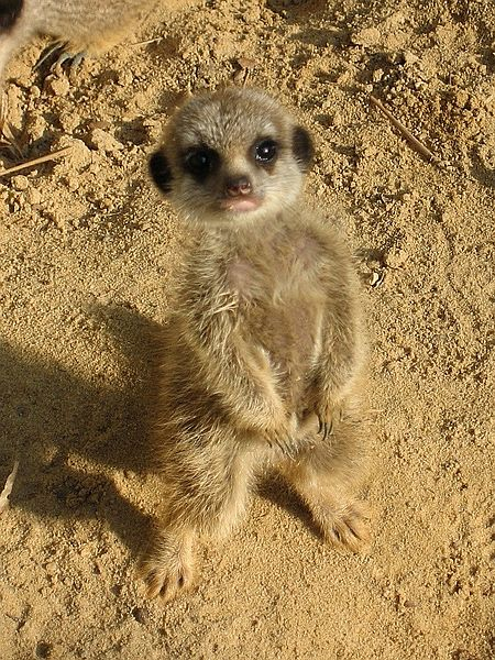 """""""Meerkat"""""""