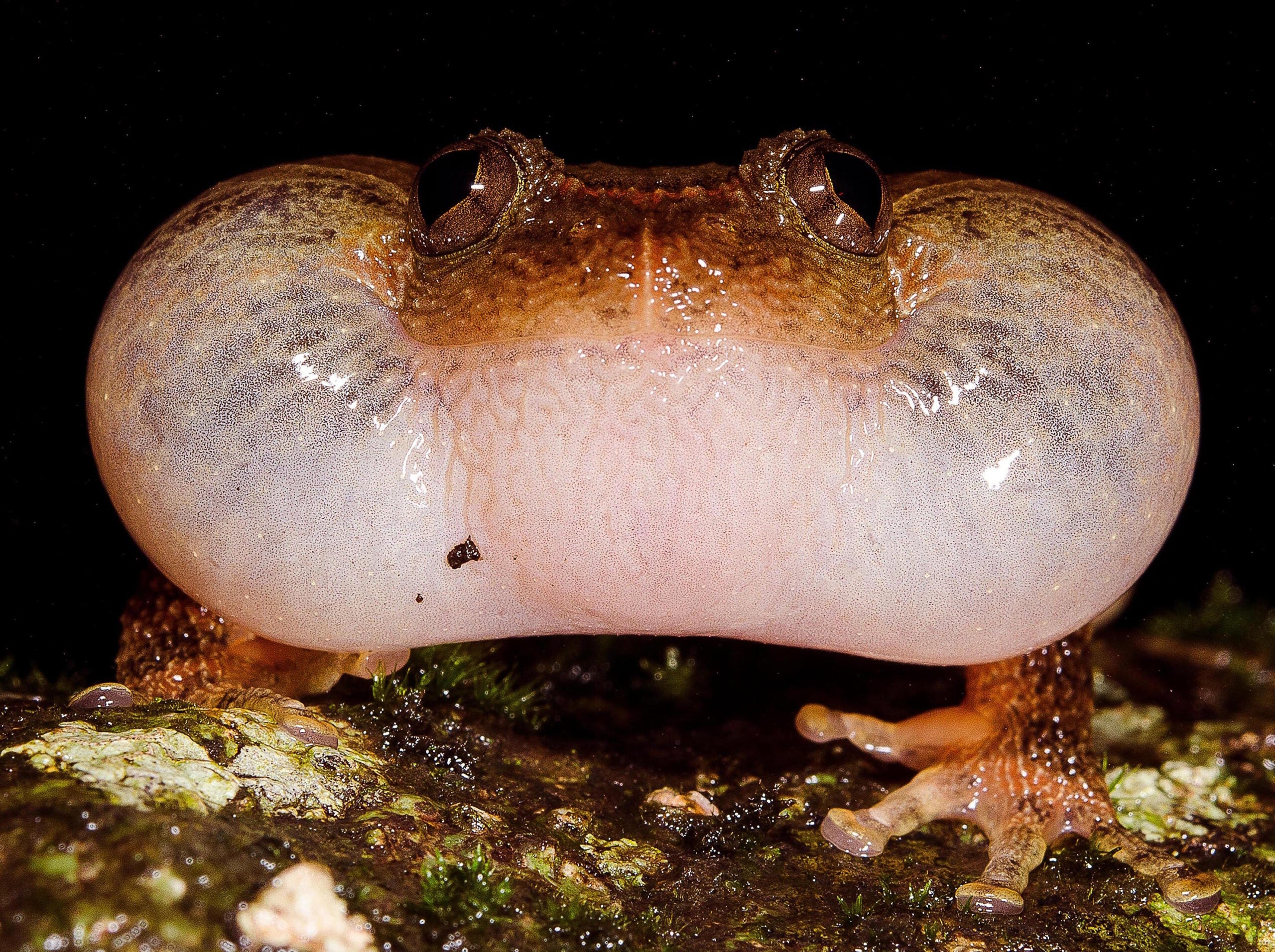 New Mating Maneuver Discovered Among Indian Frogs