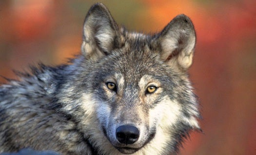 U.S. Plans To Remove Gray Wolf From Endangered Species List