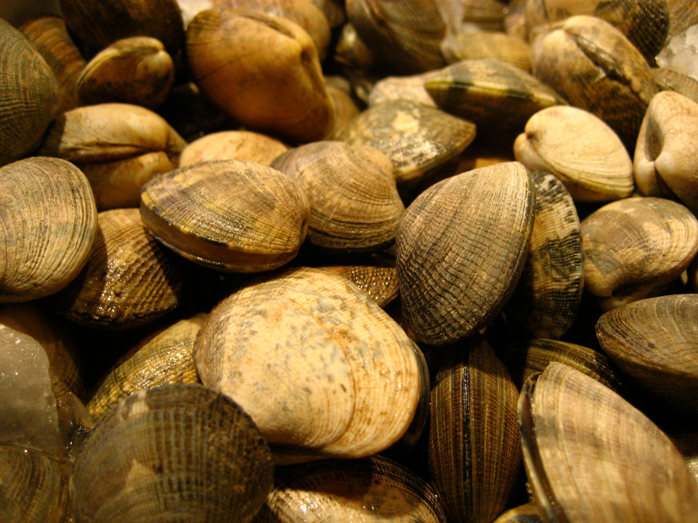 Free-Floating Cancer Cells Are Infecting Clams On The East Coast