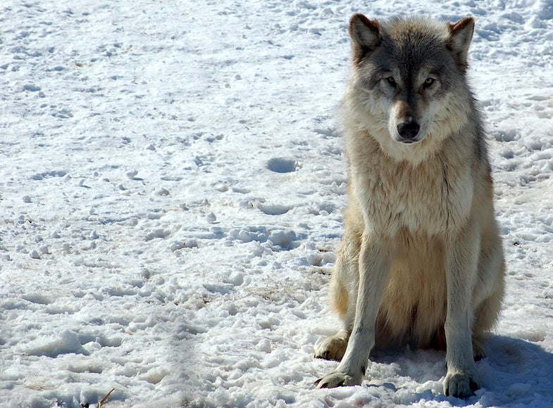 Wolf Decline Could End World's Longest Predator-Prey Study