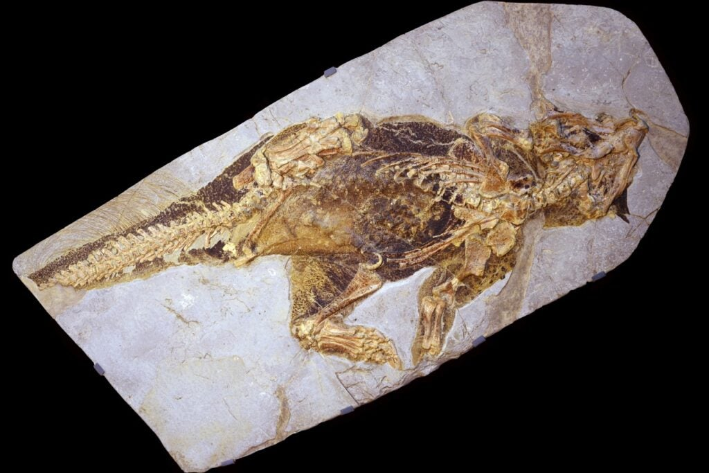 Fossilized *Psittacosaurus*