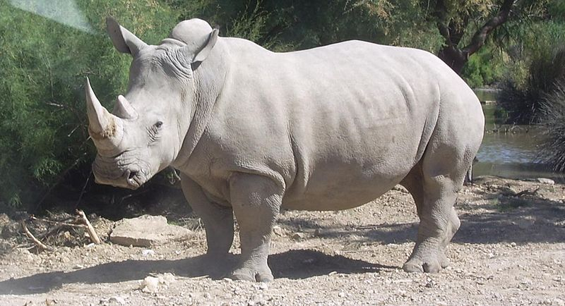 In 2013, A Record Number of Rhinos Were Poached in South Africa
