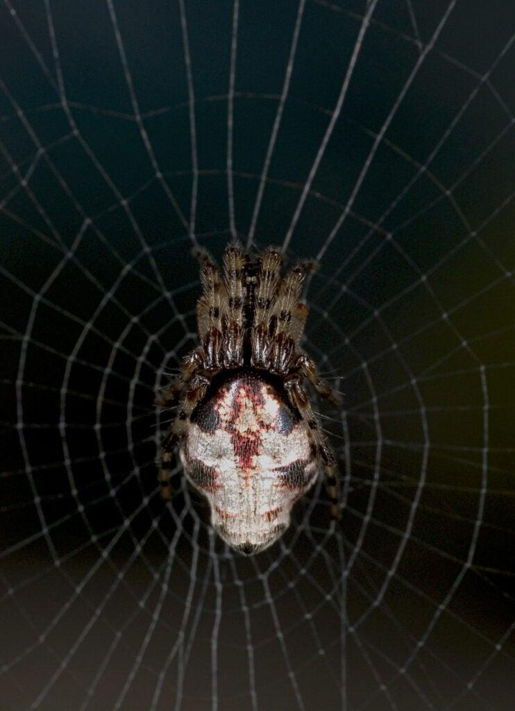 cyclosa-spider