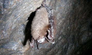 As Deadly White-Nose Syndrome Ravages Bat Population, Bats Change Social Strategy to Survive