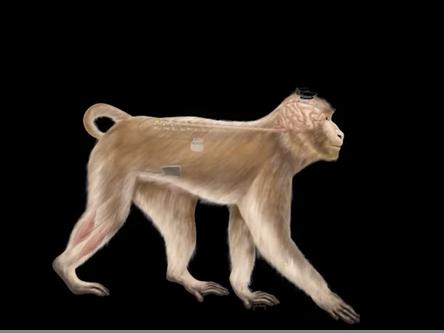 Wireless brain implants are helping paralyzed monkeys walk again