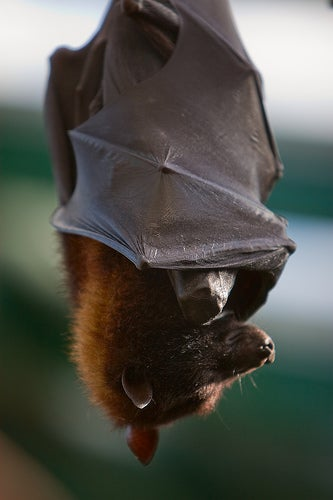 Bat Deaths Baffling Researchers