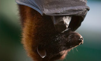 Bat Deaths Baffling Researchers