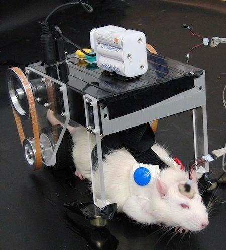 Meet RatCar, a Japanese Robot Car Controlled By a Rat's Brain