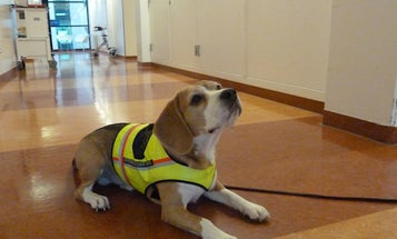 Adorable Beagle Diagnoses Deadly Infections By Sniffing You