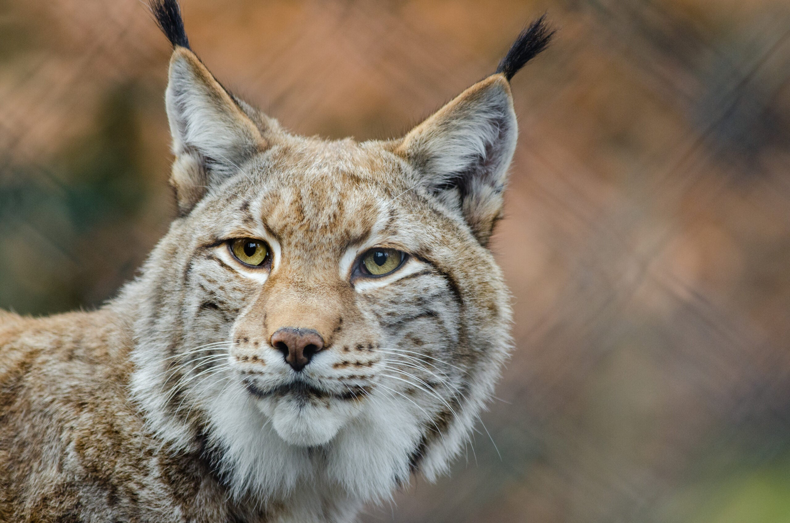 Living with a lynx—for science