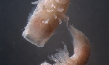 This Tiny Crustacean Menace Could Fuel the World